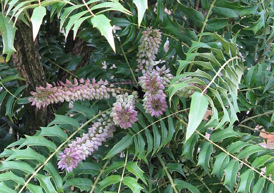 One of the plants at Hidcote. Ellie Stevenson images