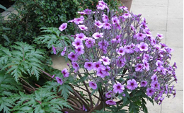 Hidcote plant. Ellie Stevenson images